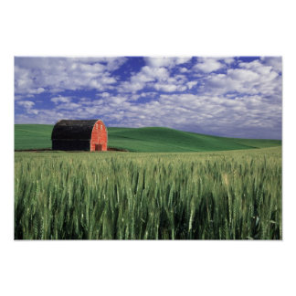 Red barn in wheat & barley field in Whitman Poster