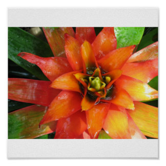 Red Beauty Bromeliad Poster