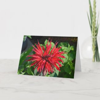 Red Bee Balm Garden Flower Blank Inside Photograph Card