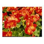 Red Begonia X Rex Cultorum (Rex Begonia) flowers Post Cards