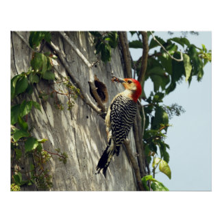 Red Bellied Woodpecker at Nest Poster