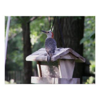 Red-bellied Woodpecker c Poster