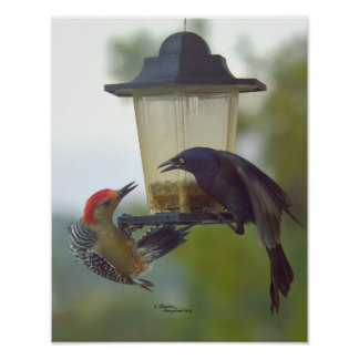 Red-bellied Woodpecker & Grackle bird Poster