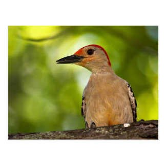 Red Bellied Woodpecker Postcard