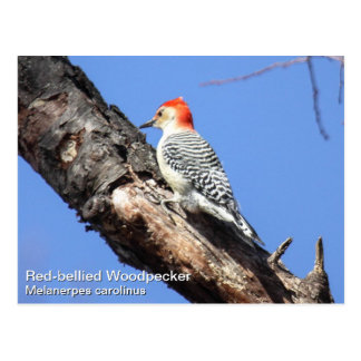 Red-bellied Woodpecker Postcard