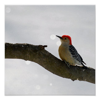 Red-Bellied Woodpecker Poster/Print Poster