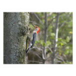 Red Bellied WoodPecker Posters