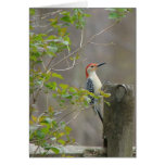 Red bellied woodpecker stationery note card