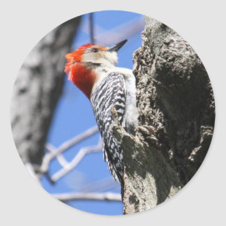 Red-bellied Woodpecker Stickers
