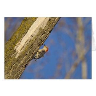 Red-bellied woopecker in tree card