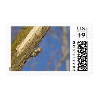Red-bellied woopecker in tree postage stamps