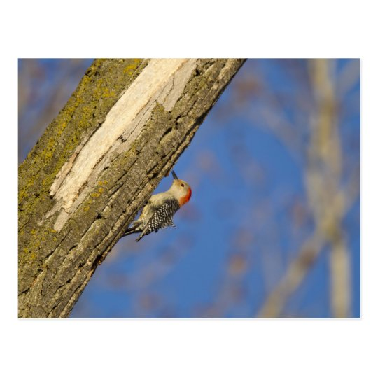 Red-bellied woopecker in tree postcard
