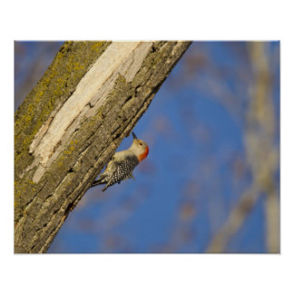 Red-bellied woopecker in tree poster