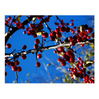 Red Berries And The Blue Sky... Postcard
