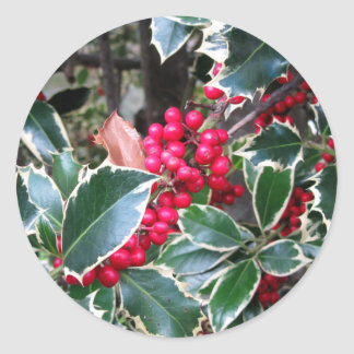 Red berries from a holly tree classic round sticker