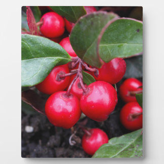 Red berries on a teaberry bush Gaultheria procumbe Plaque
