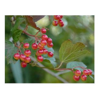 Red Berries Postcard