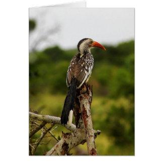 Red-billed Hornbill Bird Card