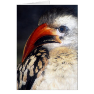 red billed hornbill card