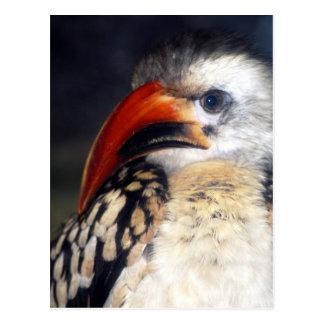 red billed hornbill postcard