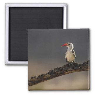 Red-billed Hornbill, Tockus erythrochynchus, 2 Inch Square Magnet