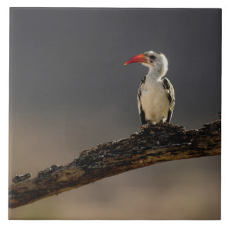 Red-billed Hornbill, Tockus erythrochynchus, Ceramic Tile