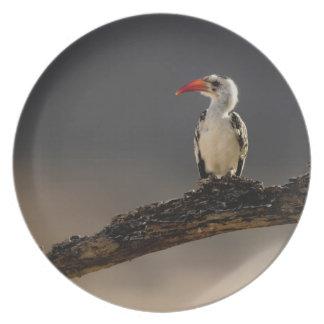 Red-billed Hornbill, Tockus erythrochynchus, Dinner Plate