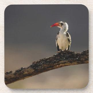 Red-billed Hornbill, Tockus erythrochynchus, Drink Coaster