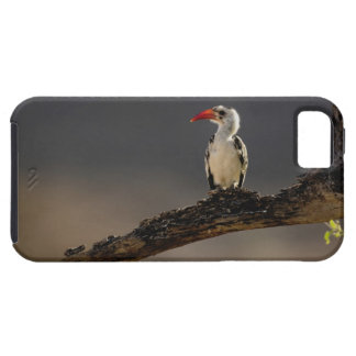 Red-billed Hornbill, Tockus erythrochynchus, iPhone 5 Cover