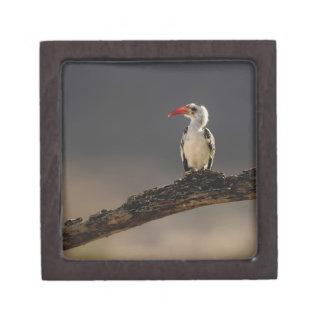 Red-billed Hornbill, Tockus erythrochynchus, Jewelry Box