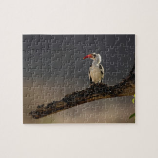 Red-billed Hornbill, Tockus erythrochynchus, Jigsaw Puzzle