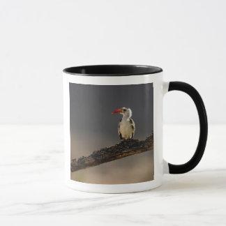 Red-billed Hornbill, Tockus erythrochynchus, Mug