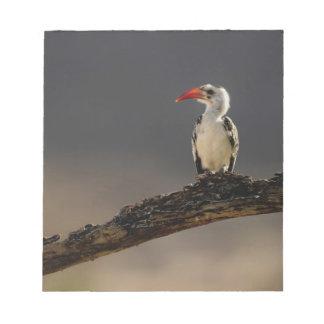 Red-billed Hornbill, Tockus erythrochynchus, Notepad