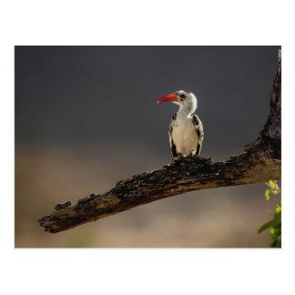 Red-billed Hornbill, Tockus erythrochynchus, Postcard