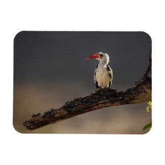 Red-billed Hornbill, Tockus erythrochynchus, Rectangular Photo Magnet