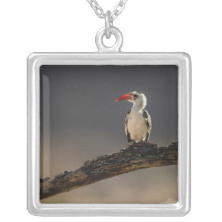 Red-billed Hornbill, Tockus erythrochynchus, Silver Plated Necklace