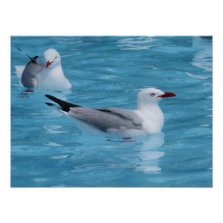 Red-billed Seagulls Poster