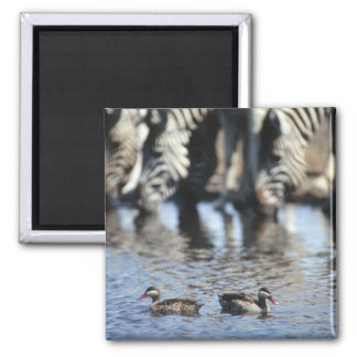 Red-billed teal (Anas erythrorhyncha) pair in 2 Inch Square Magnet