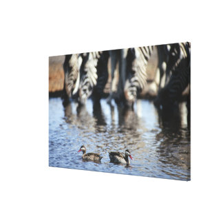Red-billed teal (Anas erythrorhyncha) pair in Canvas Print