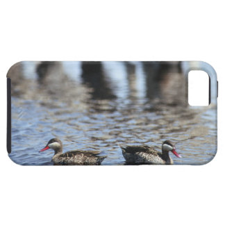 Red-billed teal (Anas erythrorhyncha) pair in iPhone 5 Cases
