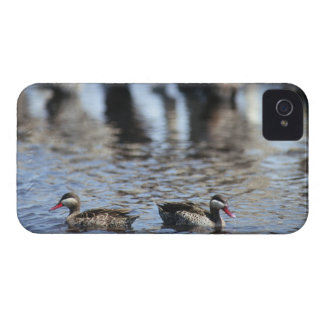 Red-billed teal (Anas erythrorhyncha) pair in Case-Mate iPhone 4 Case