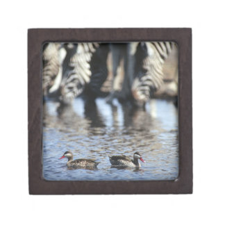 Red-billed teal (Anas erythrorhyncha) pair in Jewelry Box