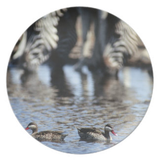 Red-billed teal (Anas erythrorhyncha) pair in Plates