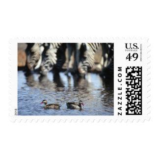 Red-billed teal (Anas erythrorhyncha) pair in Postage Stamp