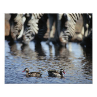 Red-billed teal (Anas erythrorhyncha) pair in Poster