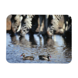 Red-billed teal (Anas erythrorhyncha) pair in Rectangular Photo Magnet
