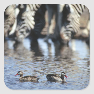 Red-billed teal (Anas erythrorhyncha) pair in Square Sticker