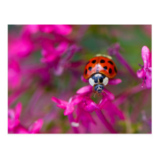 Red Black Ladybug Ladybird on Pink Flowers Postcard