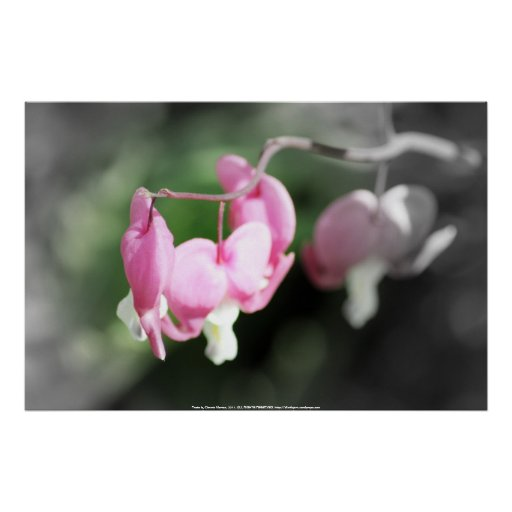 red bleeding hearts, soft background 2 posters