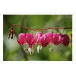 red bleeding hearts, soft background poster